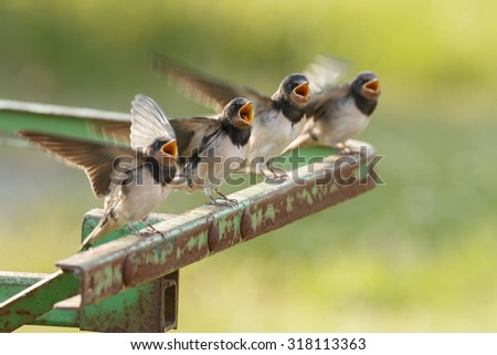 Young barn swallow in a soft focus - stock photo