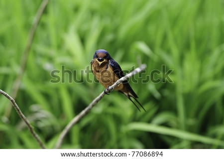 Young barn swallow with its beak open calling for mom. - stock photo