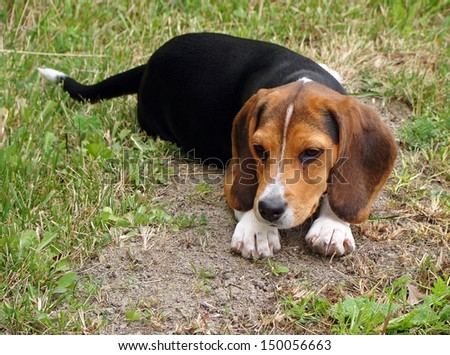 Young beagle cross puppy lies in the grass watching - stock photo
