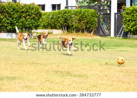 Young beagle dog running on the grass garden - stock photo