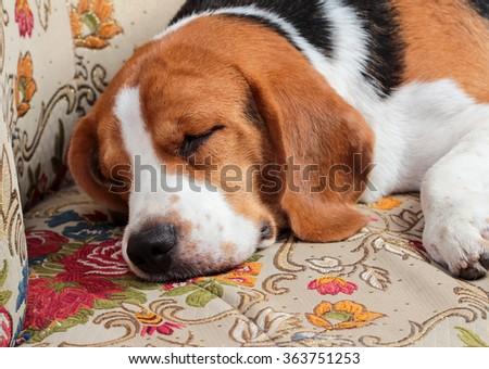 Young beagle sleep on pillow. - stock photo