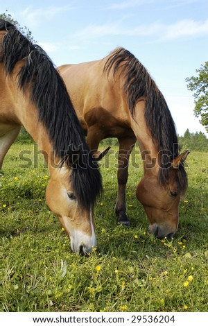 Young beautiful brown horses are eating grass on the field - stock photo