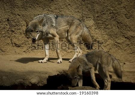 Young beautiful wolfs - stock photo