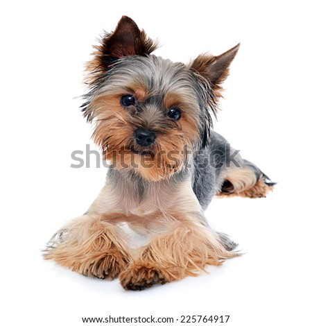 Young Beautiful Yorkshire Terrier Isolated on White Background, soft focus - stock photo