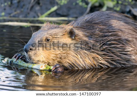 Young beaver stripping bark from a tree branch in Grand Teton National Park, WY - stock photo