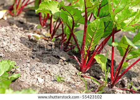 Young beet sprouts on a bed, shallow depth of field - stock photo