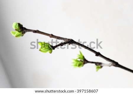 young birch leaves in spring - stock photo