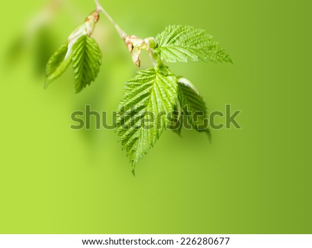 young birch leaves on a green background - stock photo