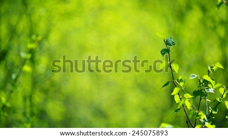 Young birch trees background - stock photo