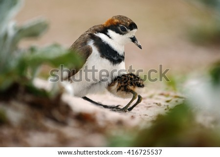 Young bird hidden in the parent. Two-banded Plover in sand beach. Sea bird in the sand beach. Plover in the nature habitat. Little bird sitting in the nature habitat. Sea bird from Falkland Island. - stock photo