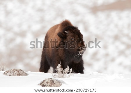 Young bison calf looks to the right, Yellowstone National Park in winter - stock photo