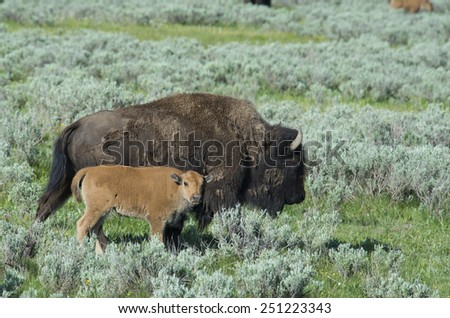 Young Bison follows his mother through the sagebrush. - stock photo