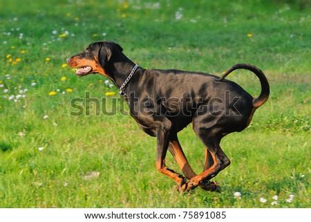 young black doberman dog running on the green grass  Dobermann - stock photo