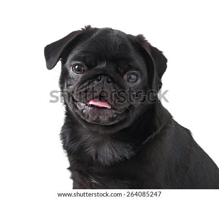 Young black dog pug posing on white background - stock photo
