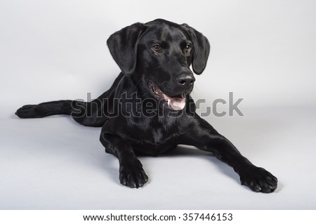 Young Black Labrador Retriever Dog - stock photo