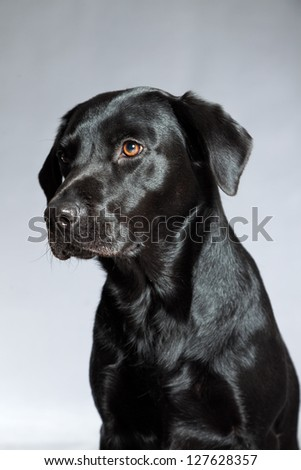 Young black labrador retriever dog. Studio shot. - stock photo