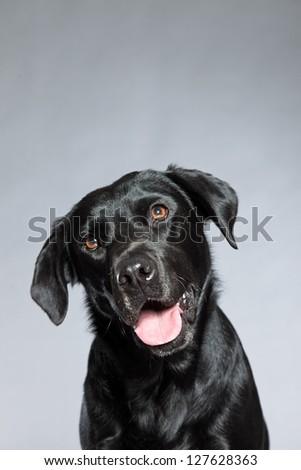 Young black labrador retriever dog. Studio shot. - stock photo