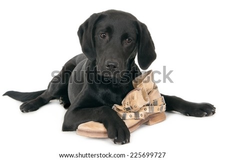 Young black labrador with a shoe, isolated on white - stock photo