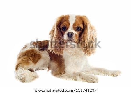 young blenheim cavalier king charles in front of white background - stock photo