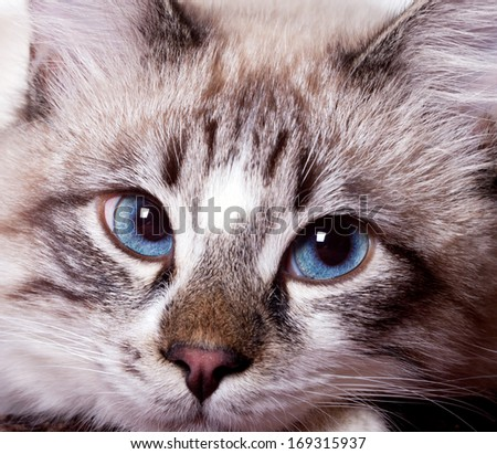 young blue-eyed cat close-up - stock photo