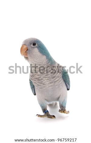 Young blue quaker, Myiopsitta monachus, 10 weeks old on a white background. - stock photo
