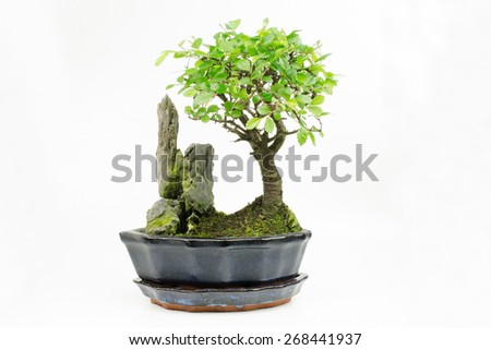 young bonsai, chinese elm (right) - stock photo