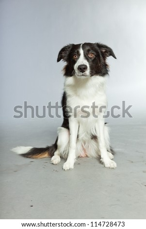 Young border collie dog. Bitch. Studio shot isolated on grey background. - stock photo