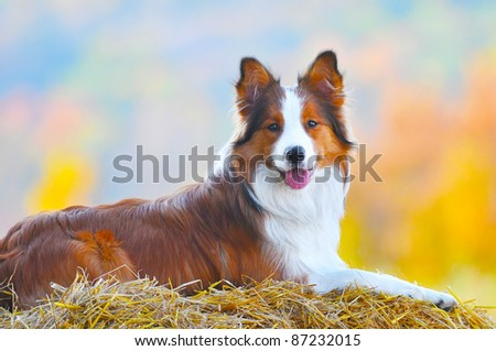 young border collie dog lie on hay in autumn time - stock photo