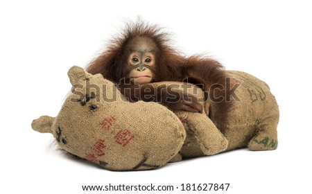 Young Bornean orangutan hugging its burlap stuffed toy, looking at the camera, Pongo pygmaeus, 18 months old, isolated on white - stock photo