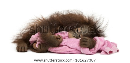 Young Bornean orangutan tired, lying and cuddling a pink towel, Pongo pygmaeus, 18 months old, isolated on white - stock photo