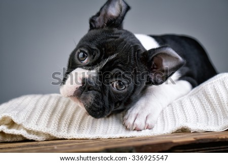 Young Boston Terrier Puppy - stock photo