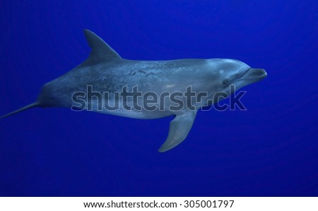 YOUNG BOTTLE NOSE DOLPHIN SWIMMING ALONE IN BLUE WATER - stock photo