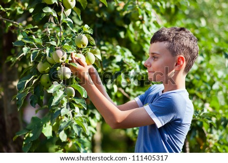 Young boy picking apples from a tree in a garden - stock photo
