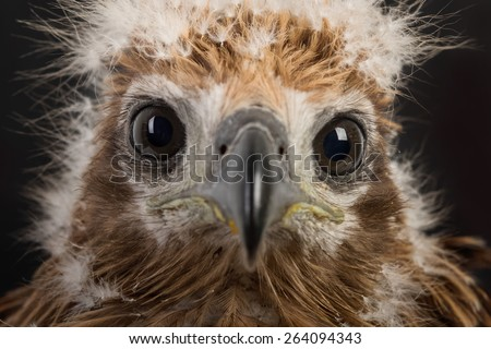 Young Brahminy Kite , Red-backed Sea-eagle - stock photo