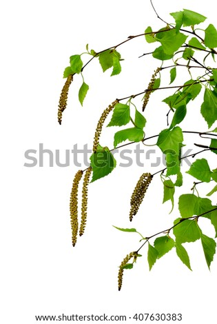 young branch of birch with buds and leaves ,  isolated on a white background without shadow. Revival of the nature. The spring has come. - stock photo