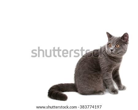 Young british cat - stock photo