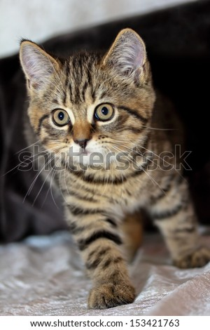 young British Shorthair cat - stock photo