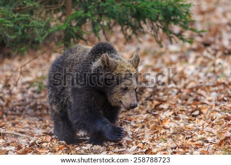 young brown bear walk in dry leaves - stock photo