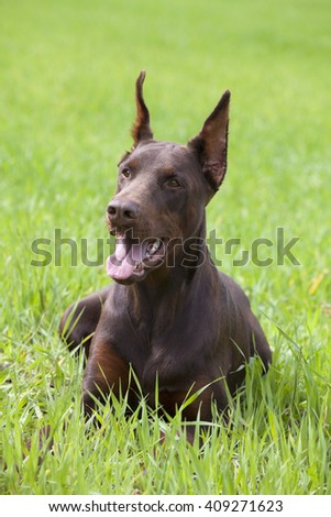 young brown doberman laying in the green grass - stock photo