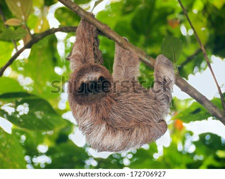 Young brown throated sloth hanging from a branch in the jungle, Bocas del Toro, Panama, Central America - stock photo