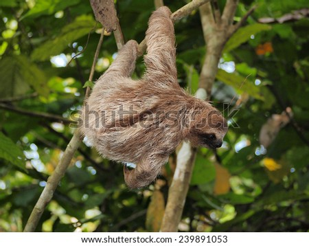 Young brown-throated three-toed sloth hanging from a branch in the jungle, Panama, Central America - stock photo