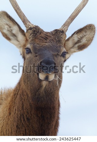 Young Bull Elk Stag; Rocky Mountain Elk, Cervus canadensis  close up head shot portrait isolated against a natural background - stock photo