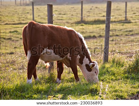 young bull full-length profile on animal farm pasture background - stock photo