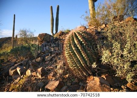 Young Cactus in Saguaro National Park in Arizona. - stock photo