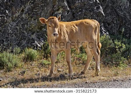 Young calf near Belgodere, Nebbio region, Corsica, France, Europe - stock photo