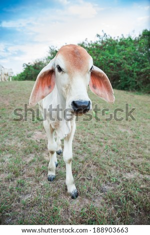 Young calf on a green hill  - stock photo
