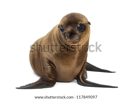 Young California Sea Lion, Zalophus californianus, smiling and looking away, 3 months old against white background - stock photo