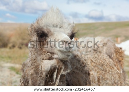 Young camel on a background of the Mongolian yurt - stock photo