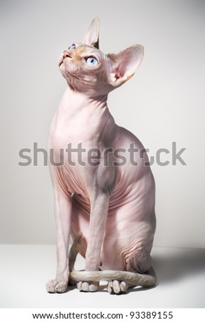 Young canadian sphinx cat on black background - stock photo