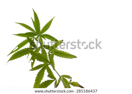 Young cannabis plant marijuana plant detail under sun ant view - stock photo